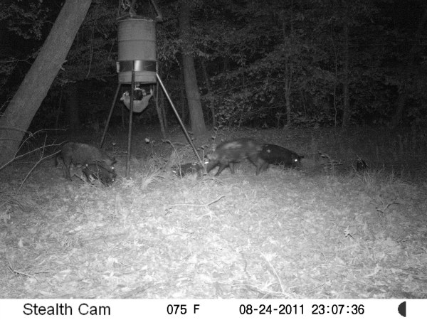 hogs and raccoon